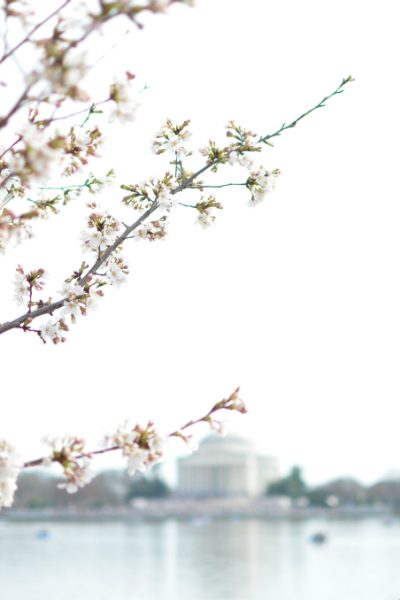New Family Traditions with the DC Cherry Blossoms